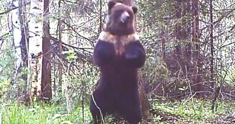 урал ловушка поймала танцующий медведь