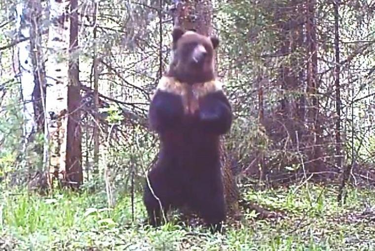 Камера заповедника на Урале сняла танцующего медведя. ВИДЕО
