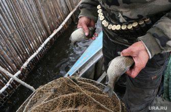 Тюмень гаффская болезнь Ачиры рыбалка