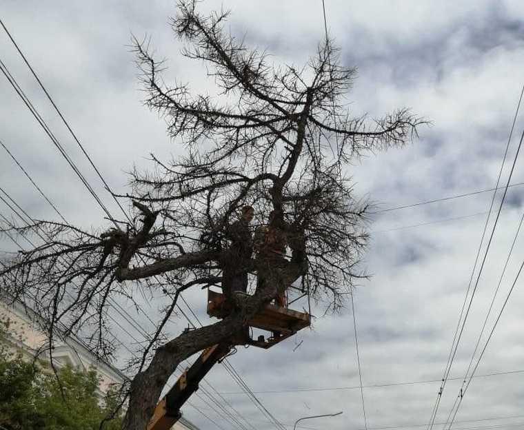 Депутат объявил войну мэрии Челябинска из-за 115-летнего дерева. Фото